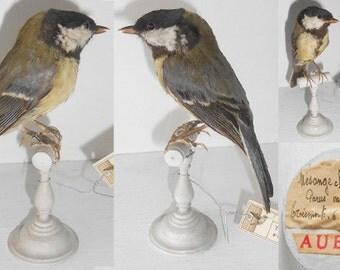 Antique taxidermy bird - Great Tit - 1906