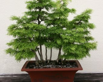 BONSAI - Golden Larch