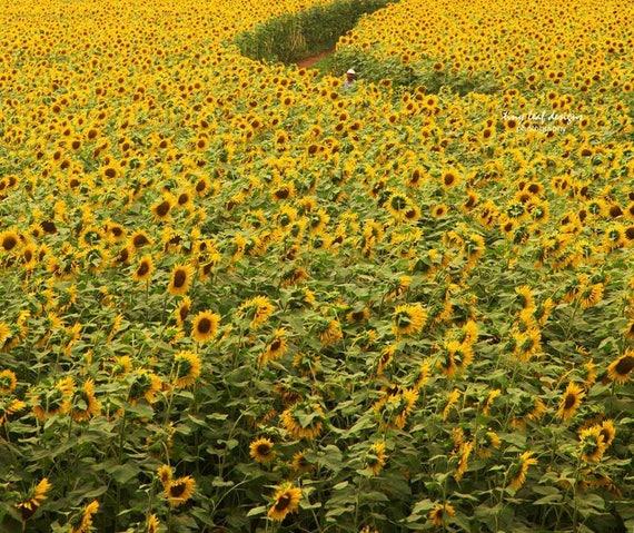Field of Sunflowers Path Fine Art Photograph 5x7 8x10 11x14