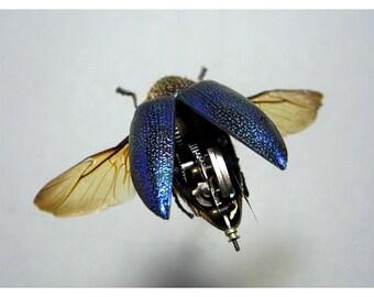 Blue Buprestidae Print  various sizes