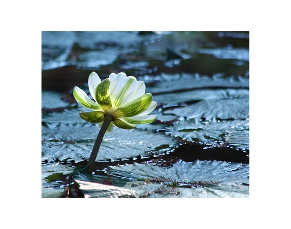 Flower photography, white lotus flower photo, white lotus flower art print, lotus pads photo, botanical photography, nature photography