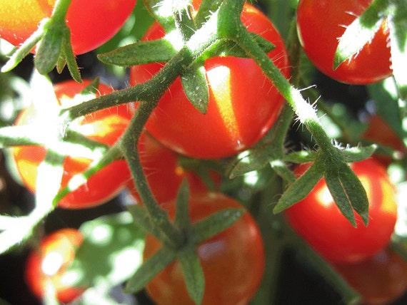 Tomato: Sweet Baby