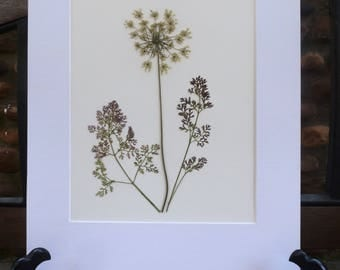 FREE SHIP  Real Pressed Flower Art Botanical Herbarium of Queen Anne's Lace 8x10 OR 11x14