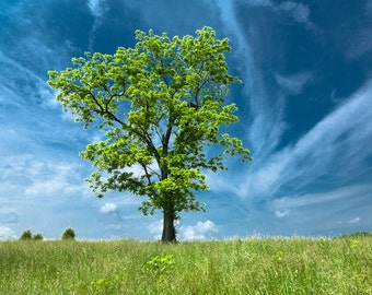 Black Walnut Tree, East Tennessee, Fine Art Photograph, Landscape
