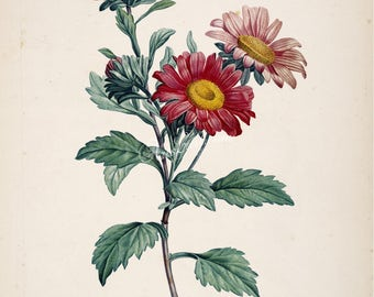 flowers-10045 - aster chinensis, China aster, annual aster, Chinese flower vintage floral botanical graphics design illustration book page