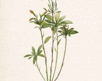 Lily of the Incas Flower Print - Lily Art Print - Botanical Print Flower Art - Floral Art - Garden - Redoute - Alstraemeria Ligtu
