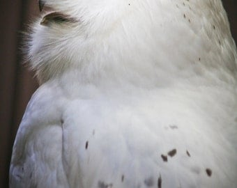 Things are looking up (Snowy Owl)