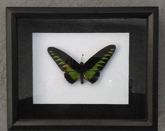 Rajah Brooke's Birdwing shadowbox (Trogonoptera Brookiana)