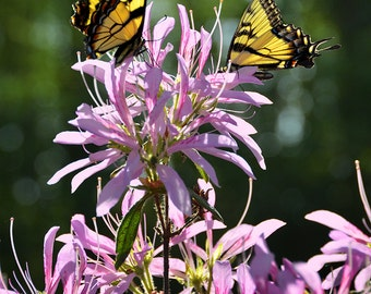 Swallowtail Butterfly Photo, Butterfly Art, Yellow Butterfly, Butterflies, Purple Azalia, Butterfly Wall Art, Wildlife Photo, Photography