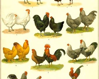 Chicken and Rooster Breeds Chart Poster - Chicken Art Print - Kitchen Wall Art - Common Chicken Breed Poster - Rooster Print
