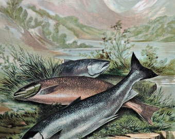 Salmonids print. Fish engraving. Antique illustration 135 years old. 1881 lithograph. 8'46 x 12'05 inches.