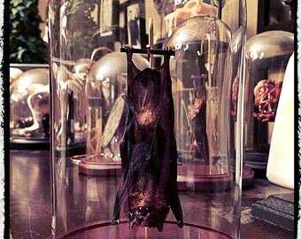 Medium Hanging Bat In a Glass Dome