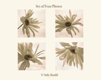 Set of four prints. Floral fine art photography. Dreamy daisy photos, pastel, white, cream flowers. Cottage decor. Floating