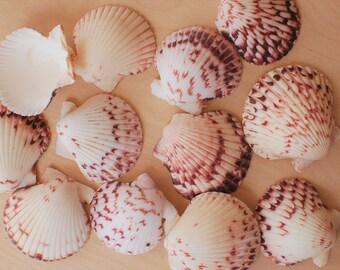 """Calico Pecten Shells - Sized 1.5-2"""" - Argopecten Gibbus"""