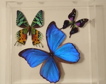butterfly display, framed butterflies, mounted butterflies , real butterfly art, butterfly gifts