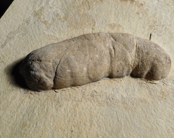 A GIANT 50 Million Year Old! CROCODILE  or TURTLE Coprolite Fossil Wy 2700gr