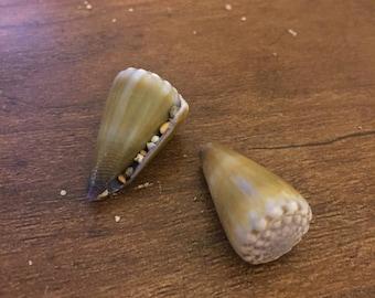 Hawaiian morelet cone shell, lot of 2