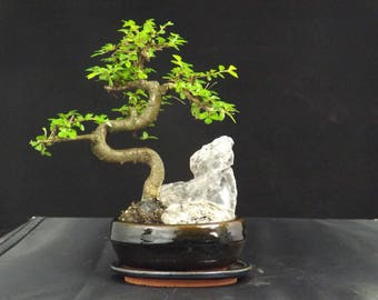 Chinese Elm S Trunk Rock Planting 25 cm Oval ceramic pot and drip tray