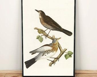 Song thrush bird drawing art print poster
