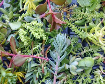 Mixed Sedum Cuttings for displays,Succulents,Sedum,Alpine,Rockery,etc