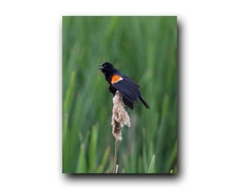 Red-winged Blackbird, Blackbird, Blackbird Image, Blackbird Photo, Marsh, Swamp, Reed Cigar, Beautiful Bird, Alberta Bird, Canada Bird, Bird