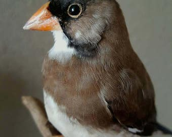 Real stuffed rice bird taxidermy mounted curiosity tropical feathers