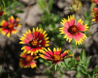 Firewheels (Indian Blanket)