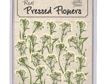 White Alyssum 25 Flowers