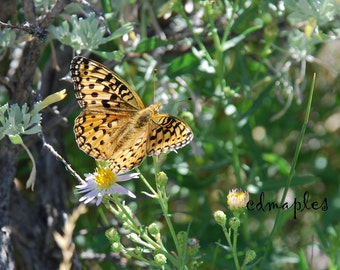 Fritillary Butterfly Photo, Butterfly Photo Print, Fritillary Color Print, Butterfly Photography