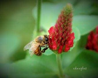 Honey Bee on Crimson Clover Photograph, Honey Bee Photo
