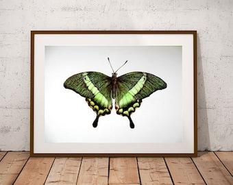 Green Butterfly Art, Original Insect Art, Emerald Swallowtail, Colored pencil bug, Realistic Moth Art, Wildlife wall art, Entomology