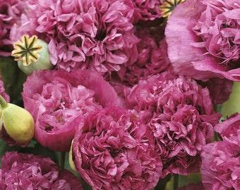 Poppy 'Violetta Blush' Seeds / Papaver somniferum / Opium Poppy