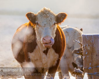 The Long Tongued Cow with Attitude - England Fine Art Print
