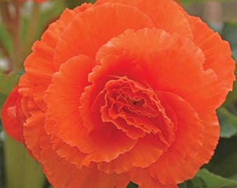 Tuberous Rooted Begonia, Ruffled Mandarin Orange, SALE!!