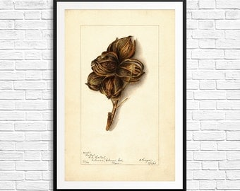 Botanical art, trees, tree nuts, hickory nuts, hickory trees, hickory wood, science art, botanical prints, botanical watercolor, old posters