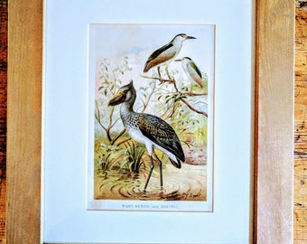Victorian plate, Night Heron and Boatbill