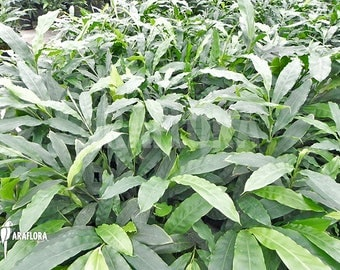 50 Elettaria cardamomum Seeds, green or true cardamom Seeds,