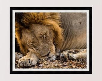Sleeping Beauty, Lion, Kruger, South Africa, Print, Wall Art, Home Decor