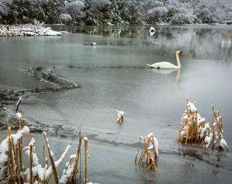 Swan Lake, Snow Trail, Fine Art Print, Snow Swan