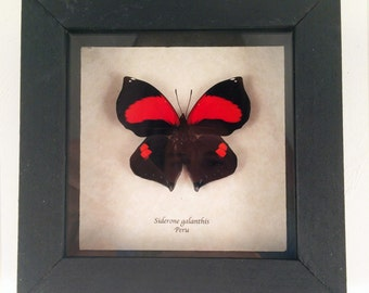 Real butterfly framed - Siderone galanthis