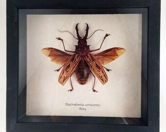 Reel beetle framed - Macrodontia cervicornis