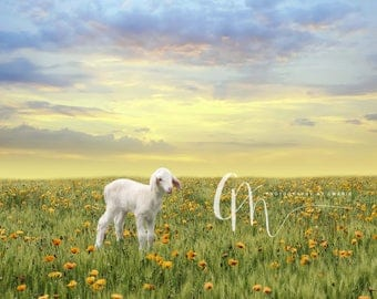 Spring lamb digital background
