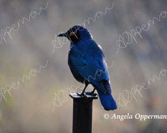 Glossy Starling on a Perch // Photography // Birds // Instant Download