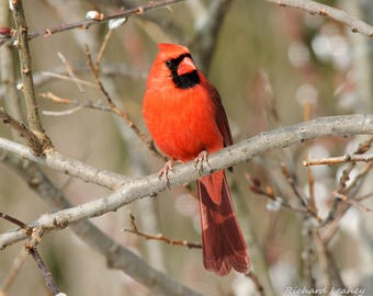 Bright Red Male Cardinal