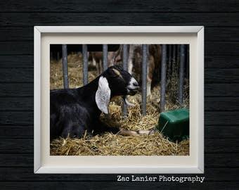 Harrisburg Pennsylvania Farm Show, Smiling Goat Picture, Black White Goat, Farm Animal, Wildlife, Straw, Smiling Animal, Nature, Adorable