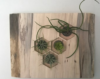 Spalted Live Edge Maple Living Wall With Air Plants Silver Gray