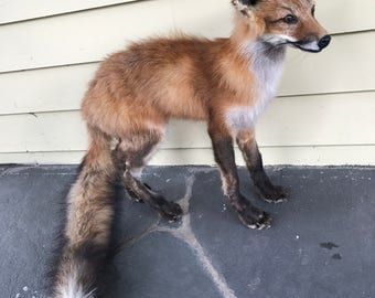 Standing Baby Red Fox Taxidermy Full Body Mount