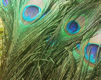Natural Peacock Feathers, Set of Four, Cruelty Free, Ten to Twelve Inch Long Feathers, Jewelry and Craft Supply, Feather Supply