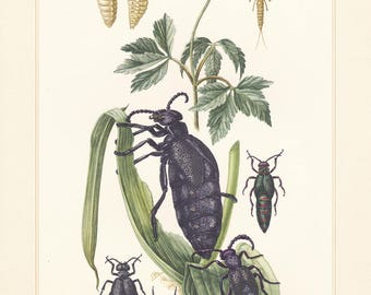 Vintage lithograph of blister, meloidae, european oil beetle from 1956