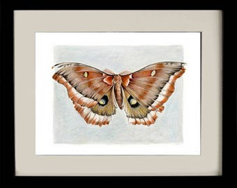 Giant Silk Moth, fine art print, giclee, archival, nature, insects, natural history, gifts for men